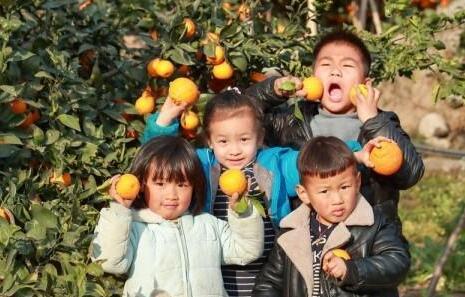 春日有佳果,石棉黄果柑熟了!