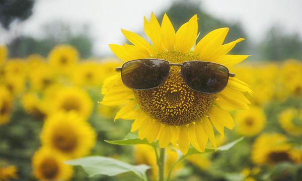 石棉300亩向日葵花开了!