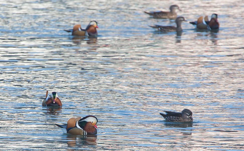 雅安全省最暖和,好多鸟儿在青衣江洗澡