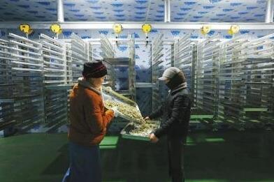 小菌菇敲开致富门——贡嘎山下松茸村的大产业
