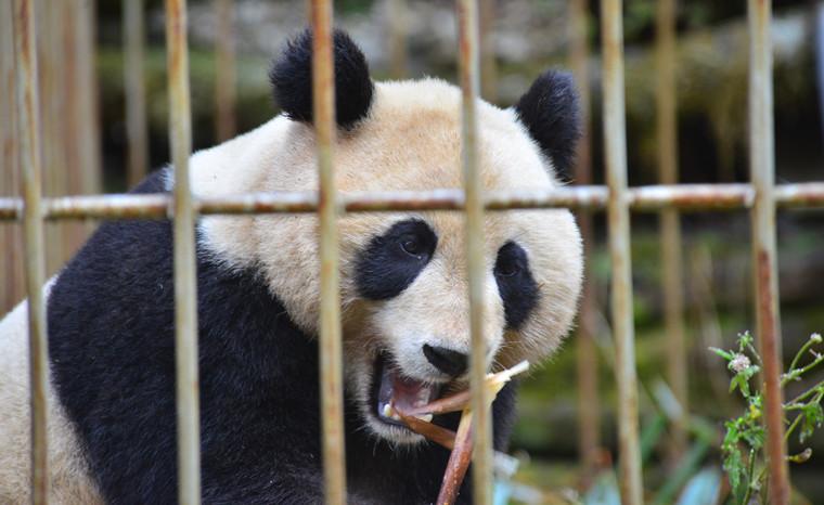 """成功捕回即将放归的大熊猫""""八喜""""""""映雪"""""""