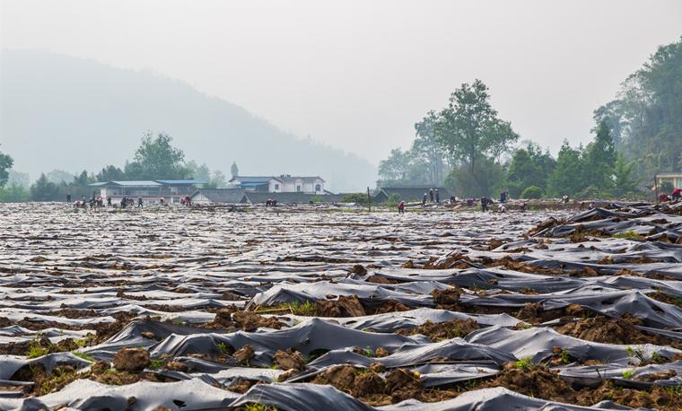 芦山县现代生态农业示范园:种植马蓝助农增收