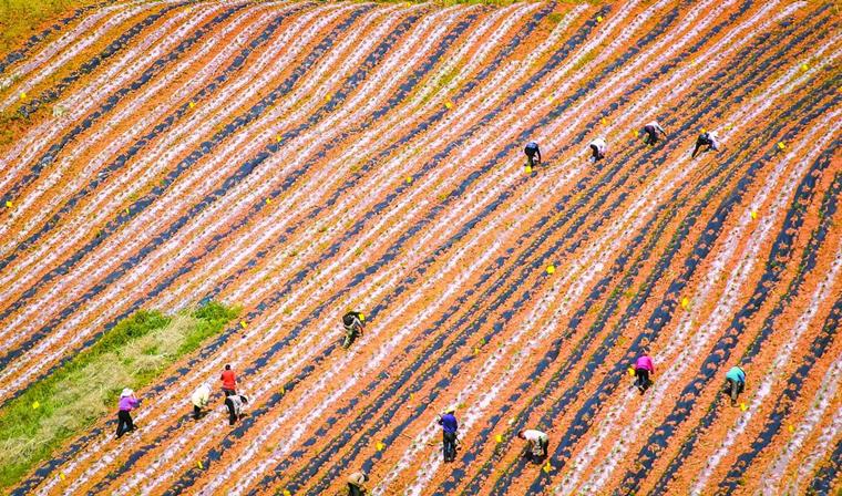 荒山种玫瑰 产业助增收