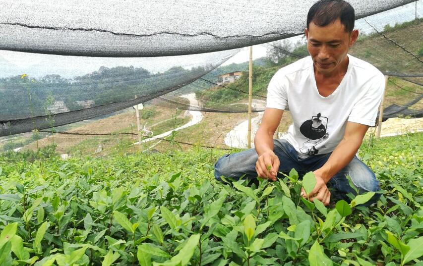 打造增收富民特色茶产业 以产业基地促自主大发展
