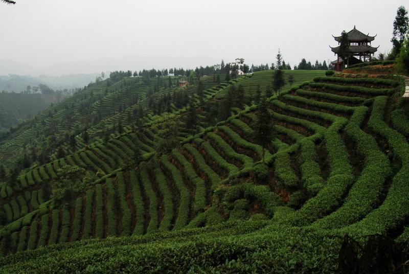 从贡茶到政府重要税源 ——探秘雅安茶叶档案中的故事