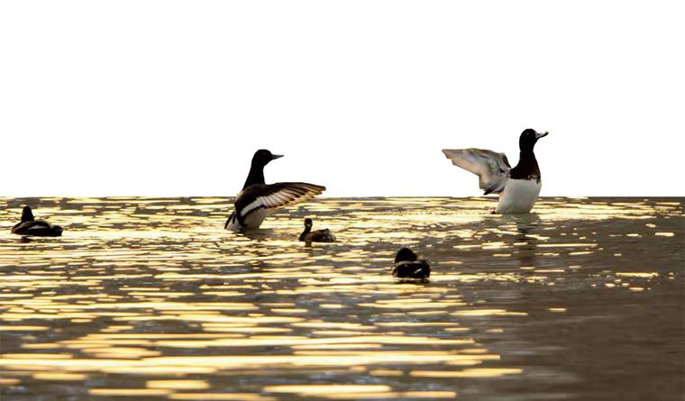 雅安动植物基因库之斑背潜鸭