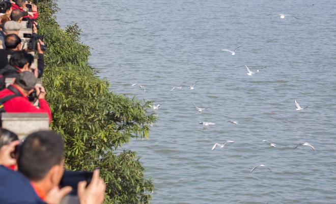 候鸟青衣江嬉戏 市民围观拍照