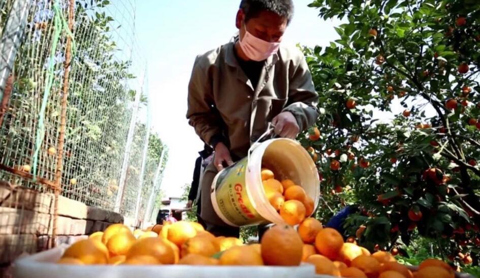 线上线下齐发力  疫情防控与黄果柑销售两不误