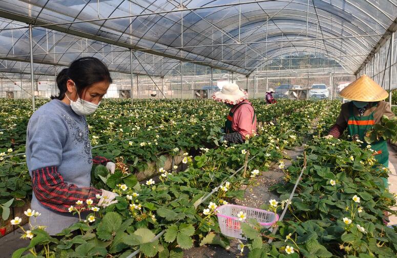 草莓园里春意浓   线上销售助增收