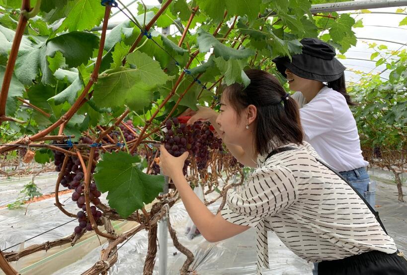 汉源葡萄成熟 游湖摘果趣味无穷
