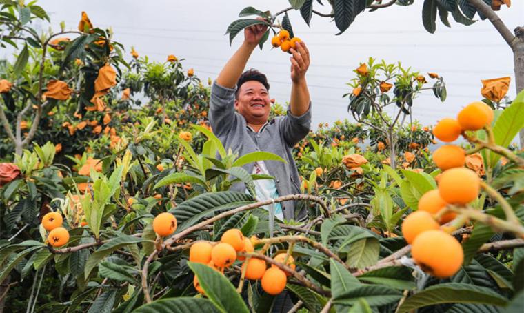 石棉枇杷获全国名特优新农产品证书