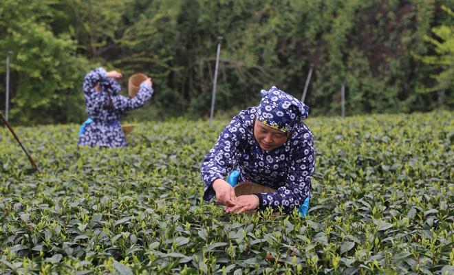 """风过雅州带茶香  茶业发展""""育新机"""""""