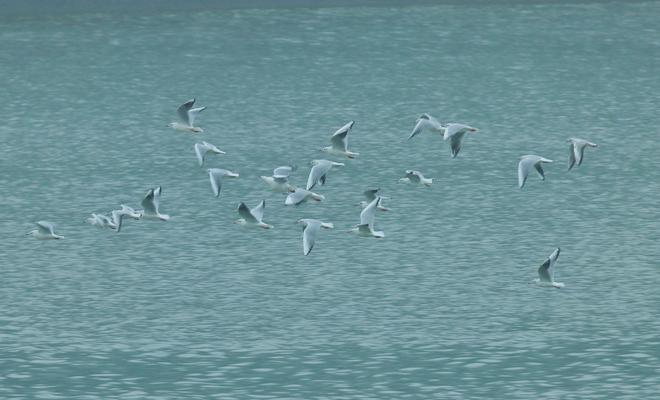 今年首批红嘴鸥抵达雨城区
